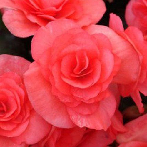 Begonia hiemalis Solenia® Dark Pink (Beekenkamp Plants / JVK)