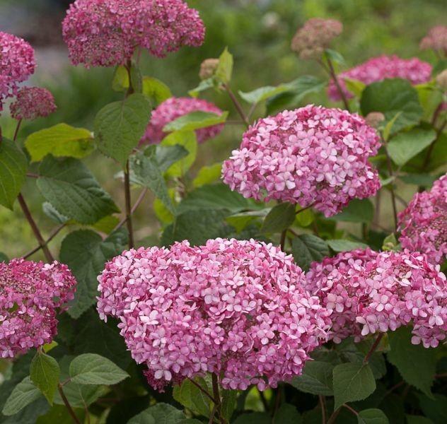 Hydrangea arborescens Invincibelle® Spirit II (Proven Winners / Québec Multiplants)