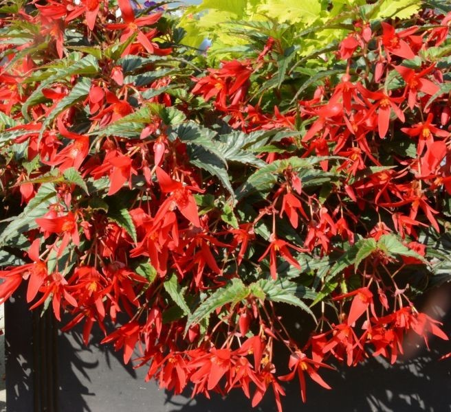 Begonia boliviensis Beauvilia® Red (Beekenkamp Plants / JVK)