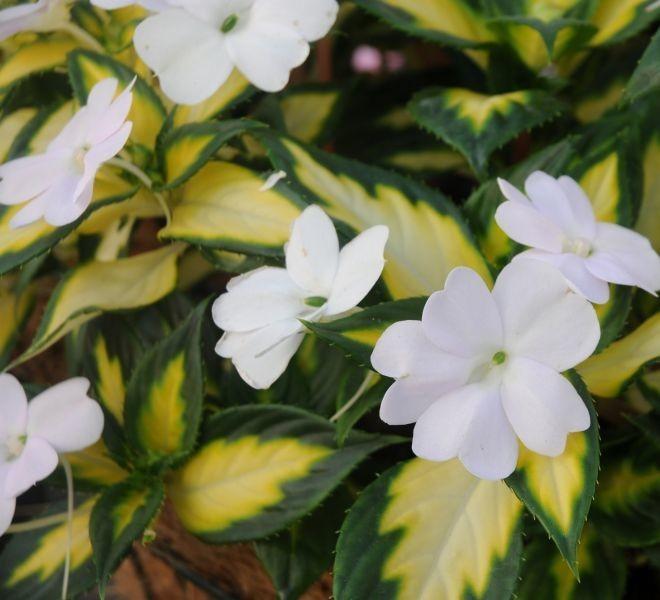Impatiens SunPatiens® Spreading White Variegated (Sakata Ornamentals / Ferme horticole Lajoie)